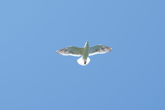オオセグロカモメ[神威岬] / X-T1,XF55-200mm,トリミング