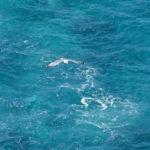 オオセグロカモメ[神威岬]/X-T1,XF55-200mm,トリミング